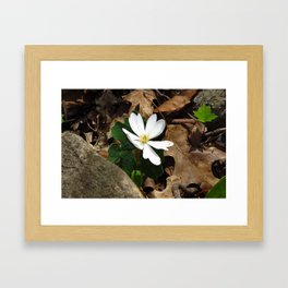 Bloodroot in Bloom Framed Art Print