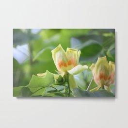 Tulip Tree - Liriodendron Metal Print