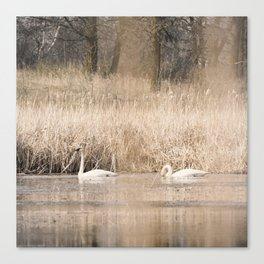 Trumpeter Swans 3 Canvas Print