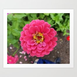 Bloomed Pink Zinnia Flower Art Print