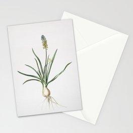 Vintage Muscari Ambrosiacum Illustration Stationery Cards