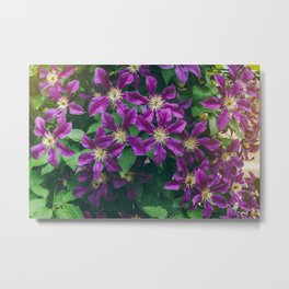Many large purple clematis flowers on a background of green leaves. Metal Print