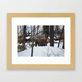 Male Moose in the snow in Jasper National Park Framed Art Print