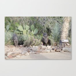 Javelina in the desert Canvas Print