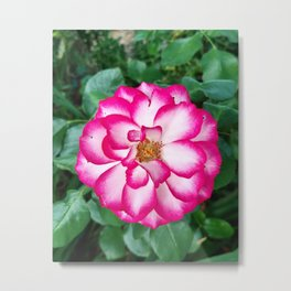 French Rose (2019) from Roberta Winters Photography Metal Print