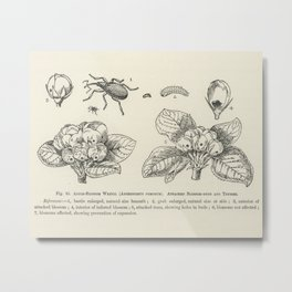 The fruit grower's guide  Vintage illustration of anthonomus pomorum, apple-blossom weevil, attacked Metal Print