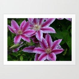 Clematis Flowers Art Print
