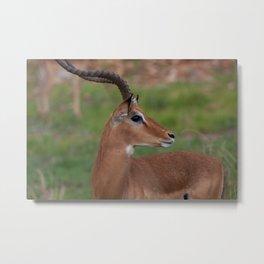 Kenyan Gazelle Metal Print