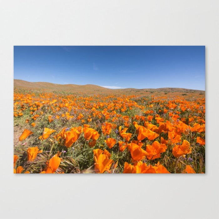 Blooming poppies in Antelope Valley Poppy Reserve Canvas Print