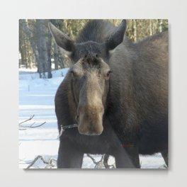 Moose Munching Poplar Lunch Metal Print