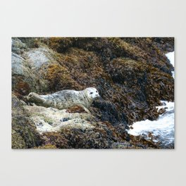 Alaskan Seal Canvas Print
