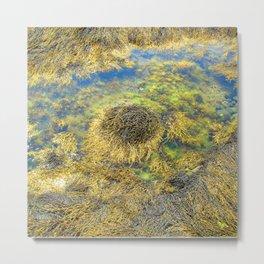 Watercolor Algae, Bladder Wrack 03, Nova Scotia, Canada, Above the Tide Metal Print