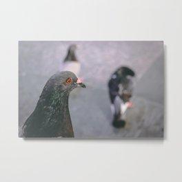 Puerto Rican Pigeon Metal Print