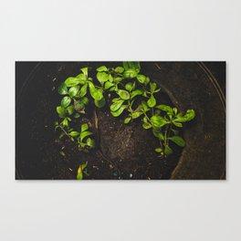 Pennyroyal Tea Canvas Print