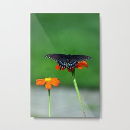 Black Swallowtail Butterfly on Mexican Sunflower Metal Print