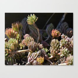 Pinky Suculents Canvas Print