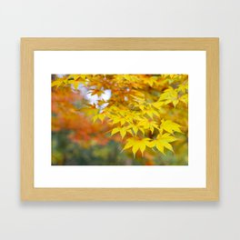 Japanese maple in yellow and orange Framed Art Print