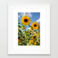 sunflowers Framed Art Prints featuring Sunflowers by David Tinsley
