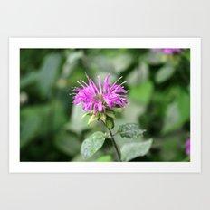 Monarda - Bee Balm Art Print