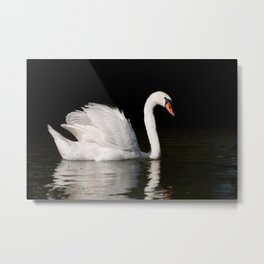 Mute Swan Cygnus olor at lake Metal Print