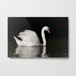Mute Swan Cygnus olor at lake Metal Print