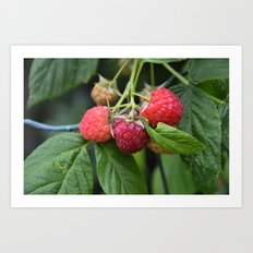 Raspberries Art Print