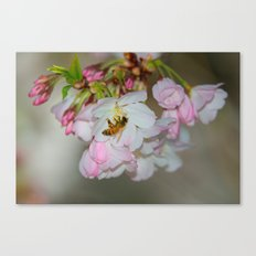 Cherry Blossoms & Bee Canvas Print