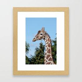 Reticulated giraffe Framed Art Print