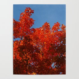 Scarlet maple leaf flames and a clear blue sky Poster