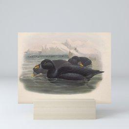 028 Common or Black Scoter oidemia nigra4 Mini Art Print