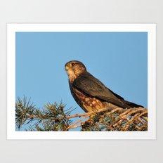 Cooper's Hawk in Evening Light Art Print