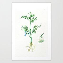 Lentil Art Print