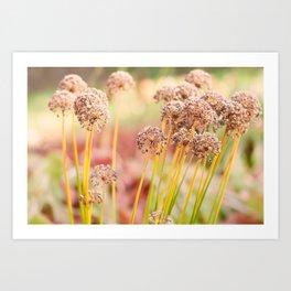 Allium - Onion Flowers in Autumn Art Print