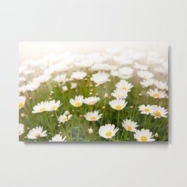 White herb camomiles clump Metal Print