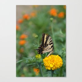 Marigolds and Butterfly Canvas Print