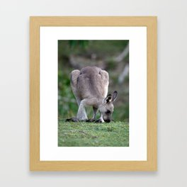 Grazing Kangaroo Framed Art Print