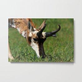 Pronghorn Antelope Portrait Metal Print