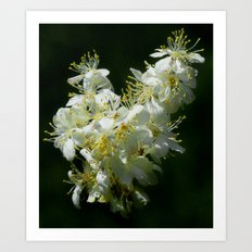 Inflorescence Dropwort White Flower Plant Art Print
