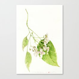 Catalpa Blossom 2017 Canvas Print