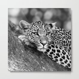 Lounging Leopard Black And White Metal Print