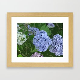 Blue Hydrangeas Framed Art Print