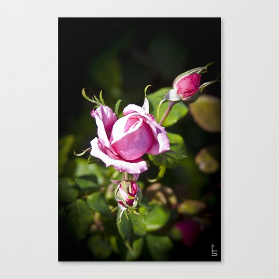 Pink Rose II Canvas Print