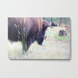 Buffalo's A Plenty Metal Print
