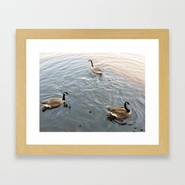 Geese in a Pond Framed Art Print