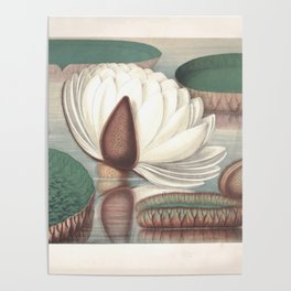 Amazon Water Lily Poster