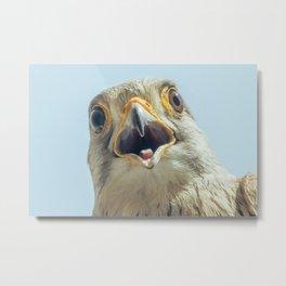 Common Kestrel Portrait Beak Wide Open (Falco tinnunculus) European kestrel. Metal Print