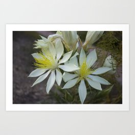 Tenpetal Blazingstar: Evening Bloomer of the Desert Art Print