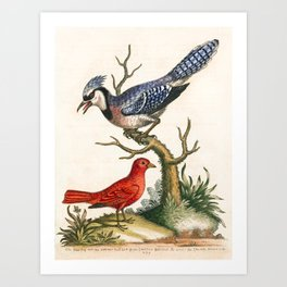 Bluejay and summer red-bird by George Edwards, 1758 (benefiting The Nature Conservancy) Art Print