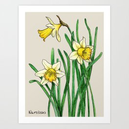 Botanical illustration of a narcissus Art Print