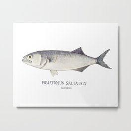 Long Island Bluefish Watercolor Painting Metal Print
